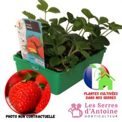 fraisier anais