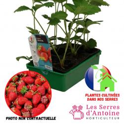 fraisier cirafine