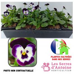 10 violas cornuta purple face