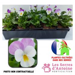 10 violas cornuta lilac white