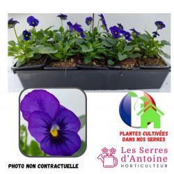 10 violas cornuta blue blotch